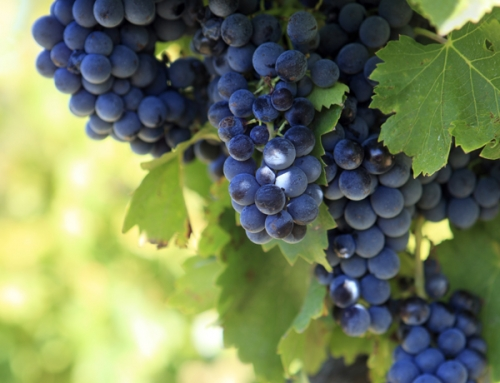 What is Phenolic ripeness? And is climate change effecting grapes ripening?
